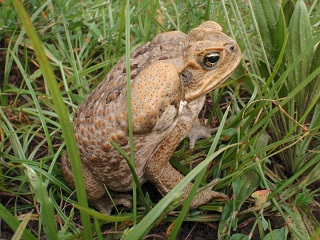 cane toad cathy zwick