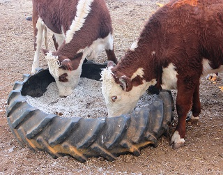 Cattle on cottonseed