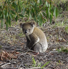 Koala seen by a Landholder at Herbert Park