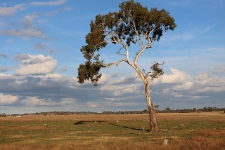 Single paddock tree 320