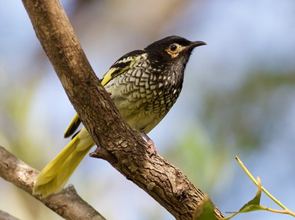 Regent Honeyeater WEB