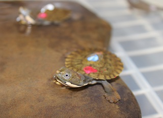 Bells Turtle hatchling captive rearing program