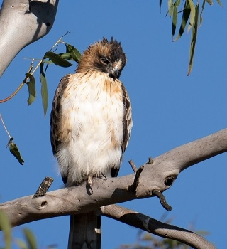 Threatened Birds of Prey to Watch Out For on the Northern Tableands