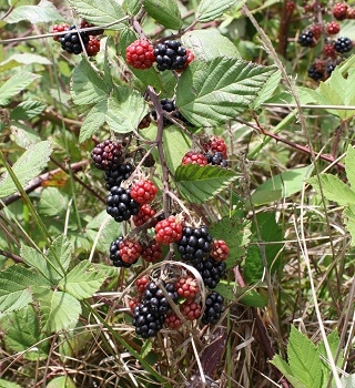 Blackberry in the New England