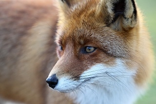 Coordinated Fox Control Starts 14 June